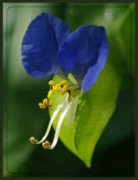 Blue Dayflower by barcon53