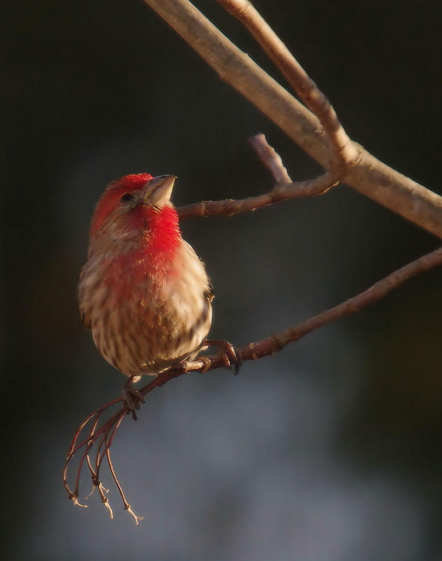 Finch in Evening Light by barcon53