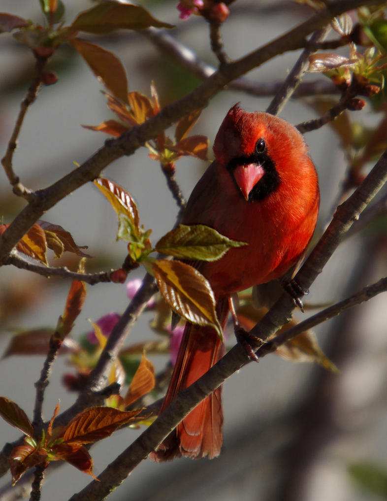 Spring Cardinal by barcon53