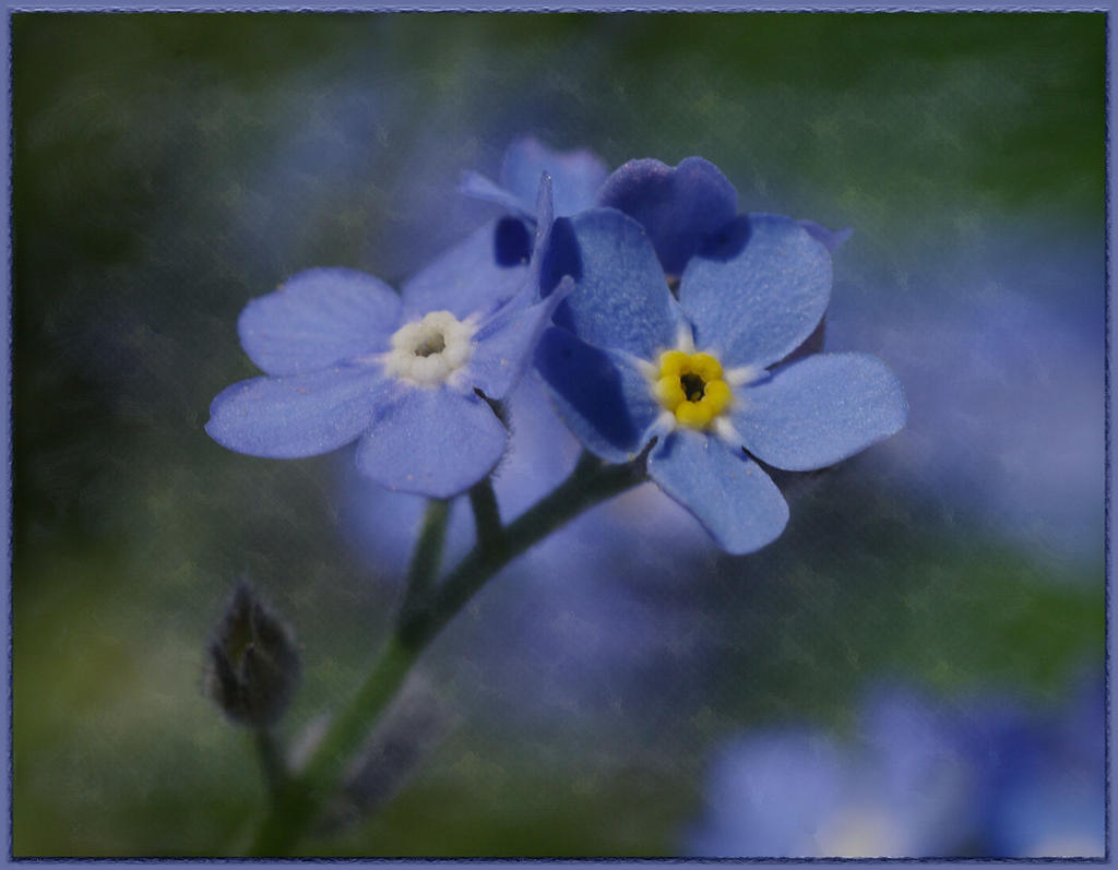 Forget-Me-Not by barcon53