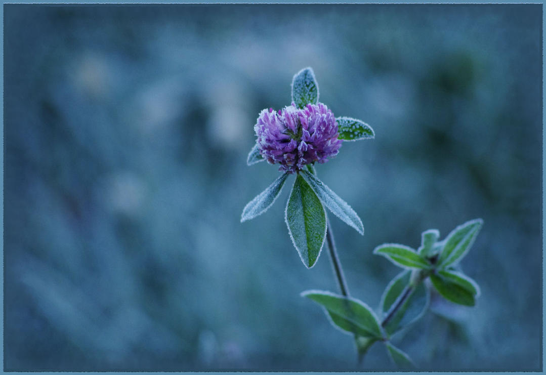 Clover in Blue by barcon53