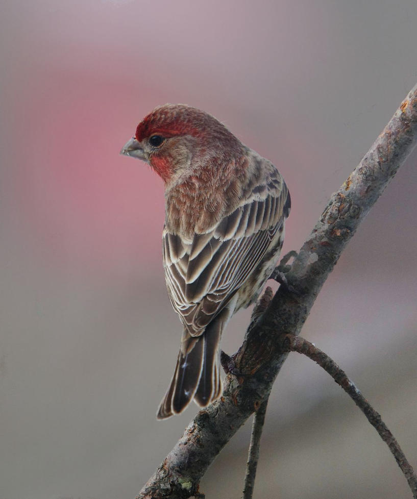 Finch Male by barcon53
