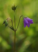 Wild Geranium by barcon53