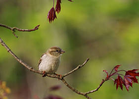 Sparrow Female in May by barcon53