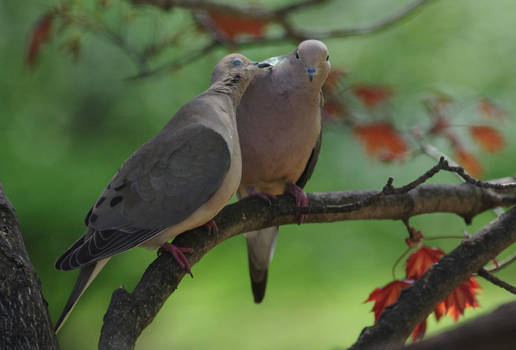 Billing and Cooing 3