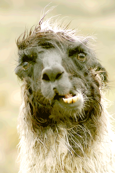 Animal that looks like a llama