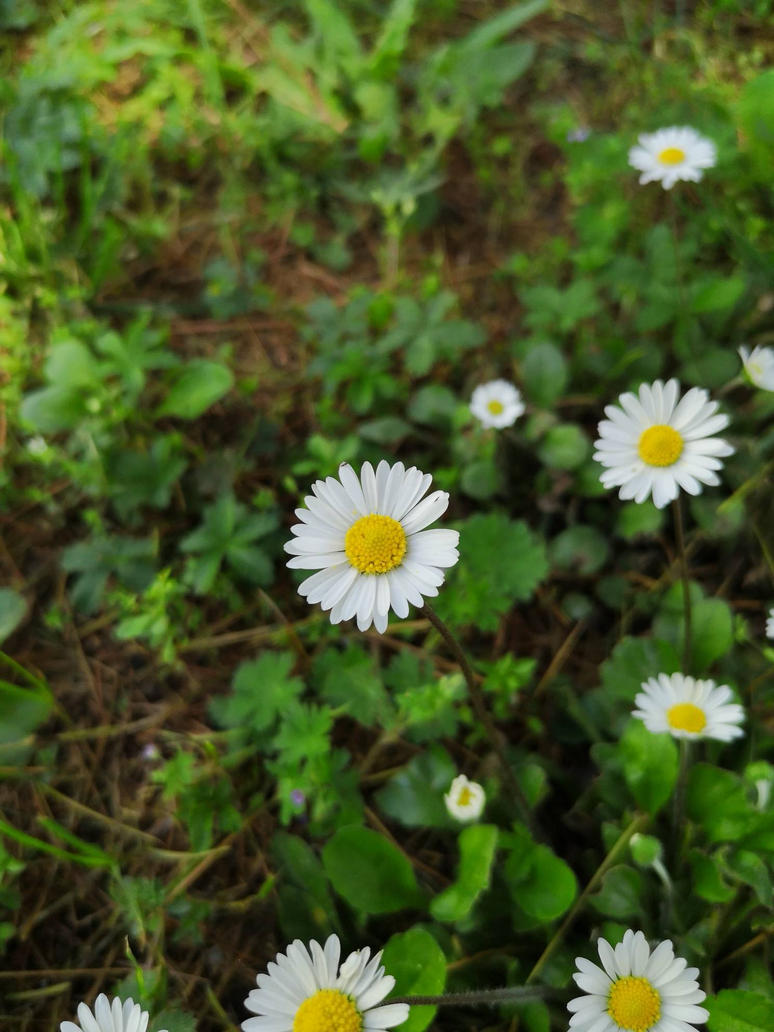 Daisy by Shutdp