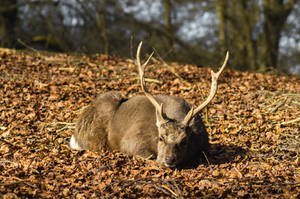 Resting deer by PhotoChap