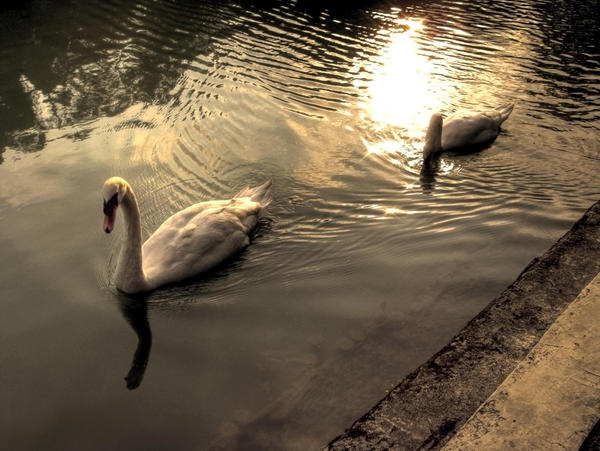 Swans - HDR