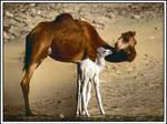 Camels - HDR