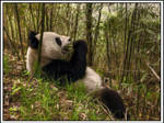 Panda - HDR
