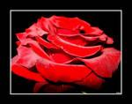 Beautiful rose II by Danutza88
