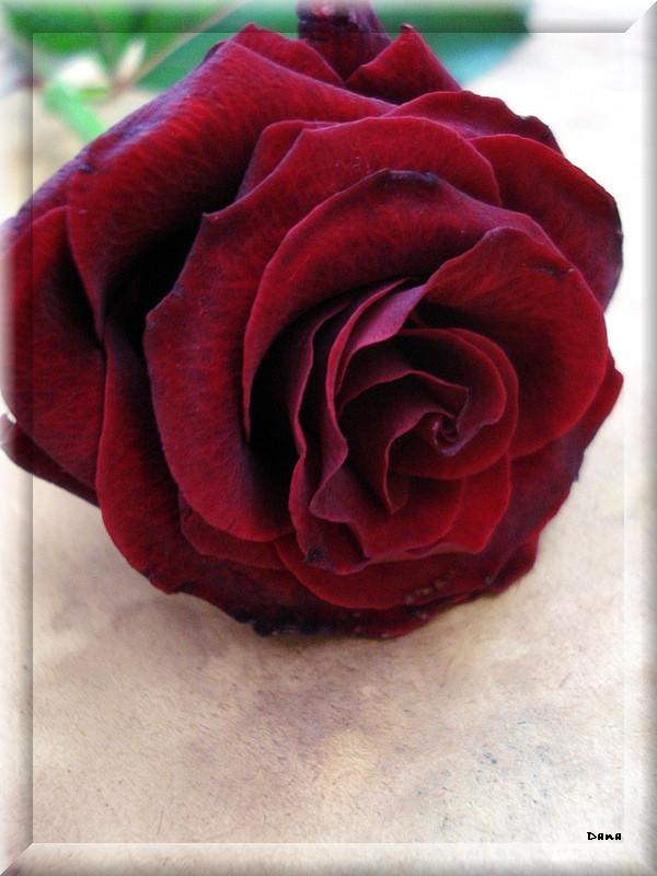 The Tulip Fanclub Beautiful_rose_III_by_Danutza88