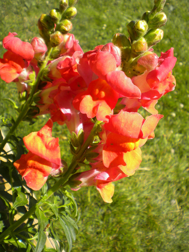 Orange-red Snapdragon Flowers by Spoons1619 on DeviantArt