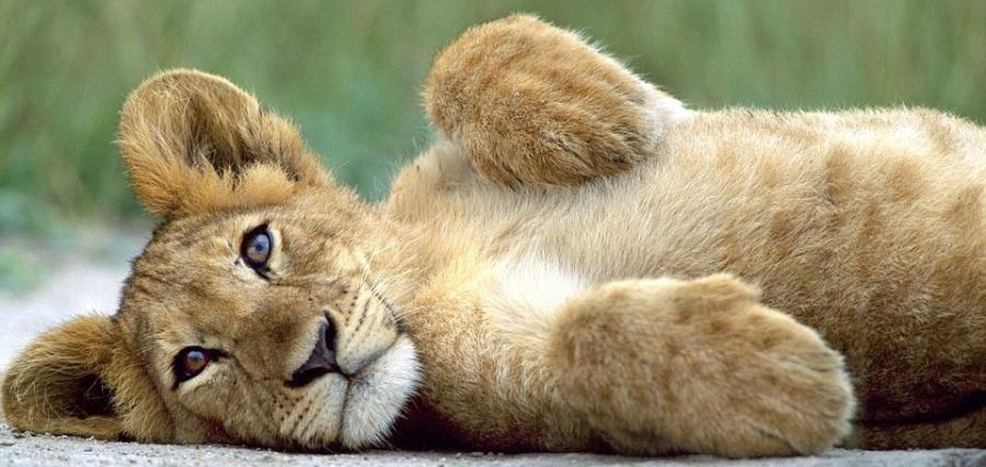 Cute-lion-cub-lion-cubs-37492130-900-426 by DiscordTheGE