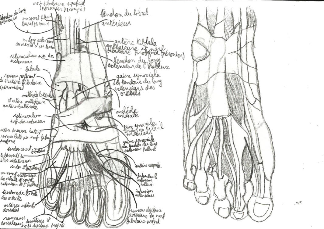 Sketch Of The Anatomy Foot Muscles By Sly 2 On Deviantart