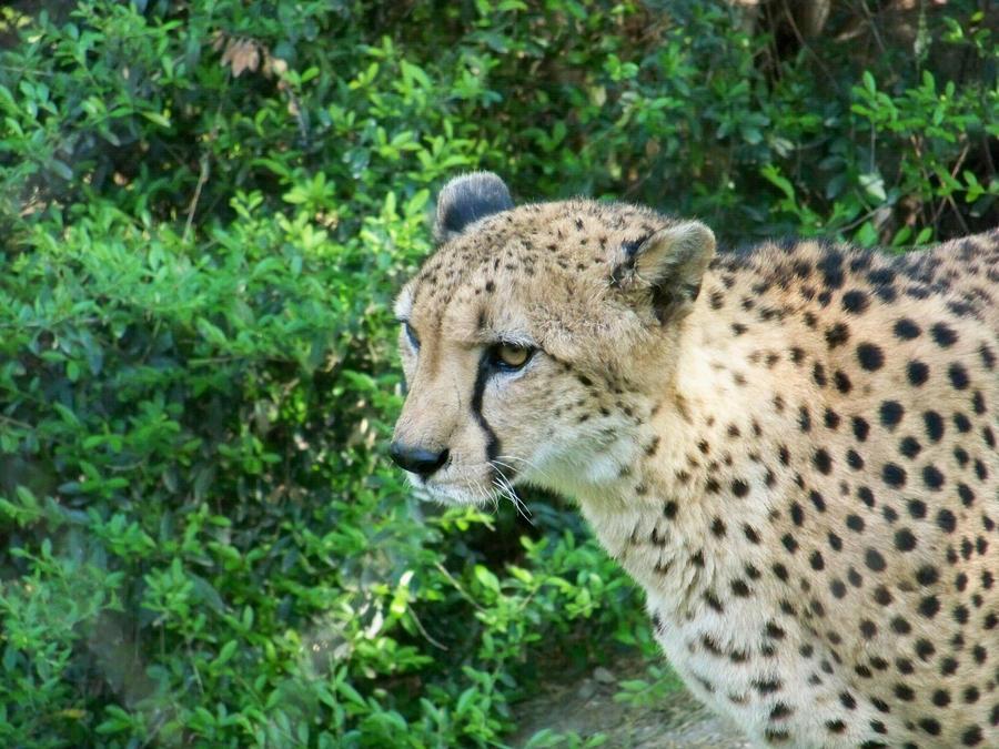 Curious Cheetah by laurabear