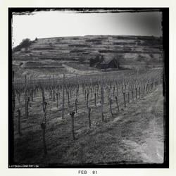 Vineyard. by Luton