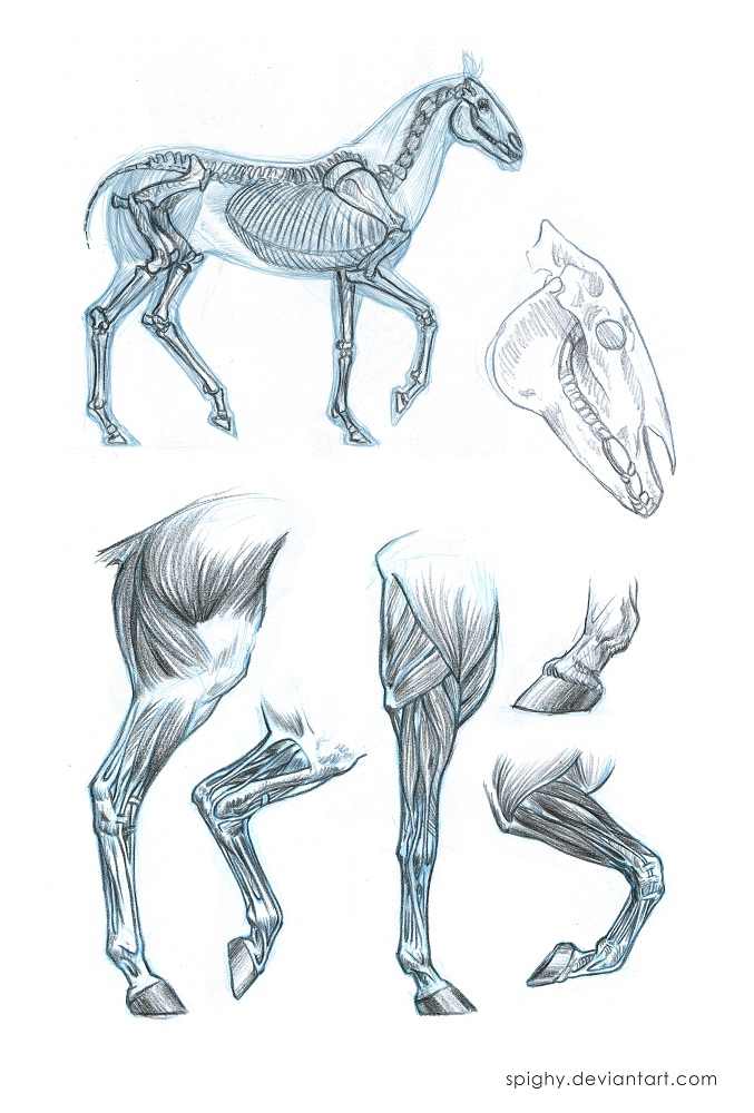 Horse anatomy sketches by Spighy on DeviantArt