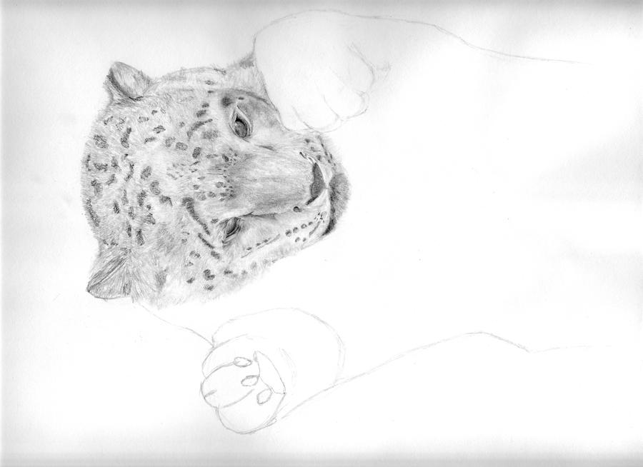 Baby White Snow Leopard Playful Baby Snow Leopard Wip