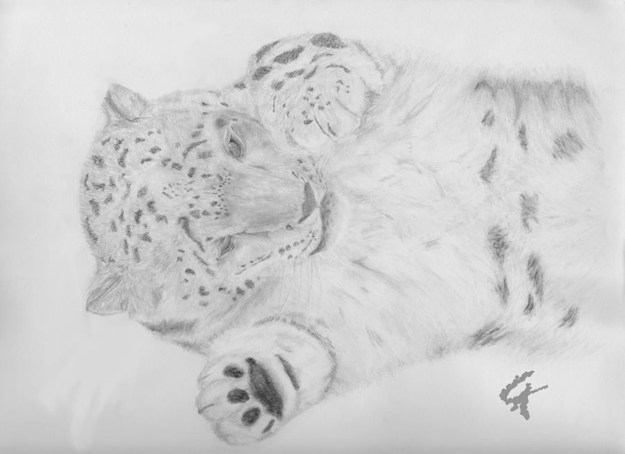 Baby White Snow Leopard Playful Baby Snow Leopard by