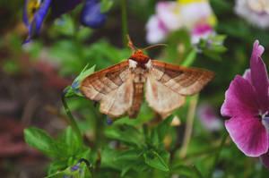 Drexels Datana moth