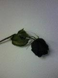 Dead rose by xcoregummie