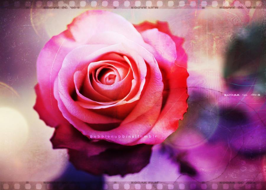 Rose II by bubblenubbins