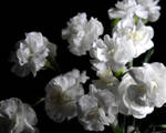 White Carnation Group by bloomingvinedesign
