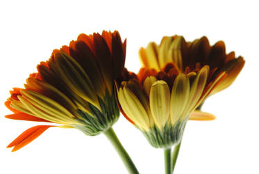 Daisy Undersides by bloomingvinedesign