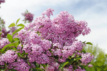 Lilacs by bloomingvinedesign