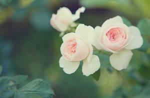 rose by Cvet04ek