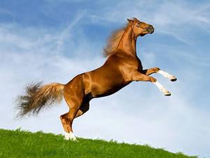The Bavarian chesnut horse