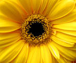 flower in the color of the sun
