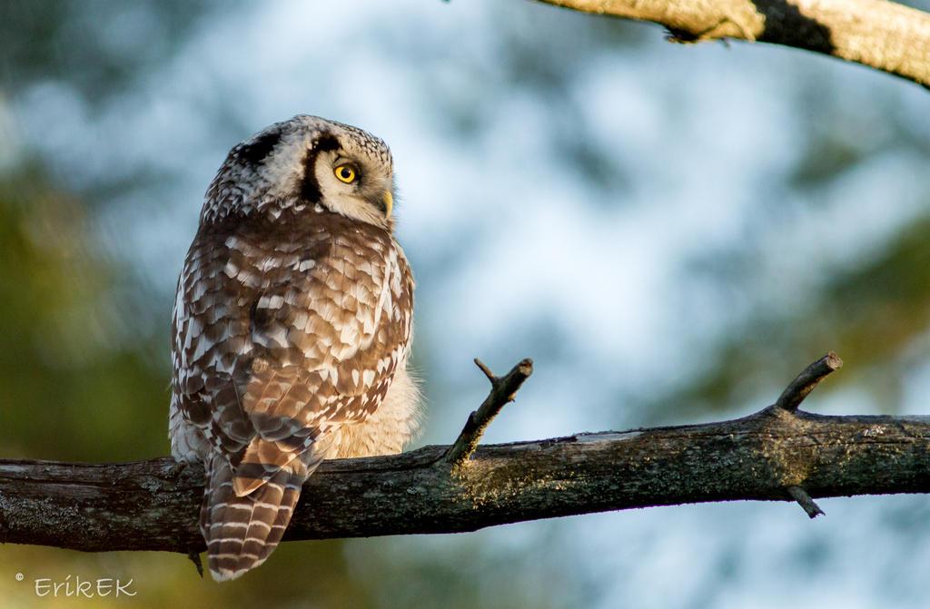 Northern Hawk Owl 3 by ErikEK