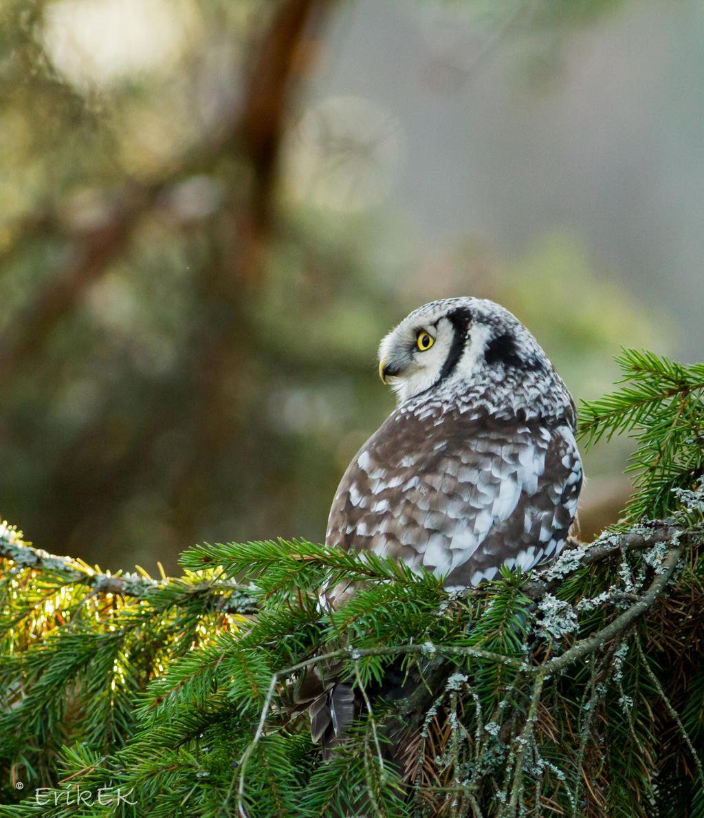 Northern Hawk Owl vol 5 by ErikEK