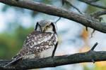 Northern Hawk Owl = like superstar
