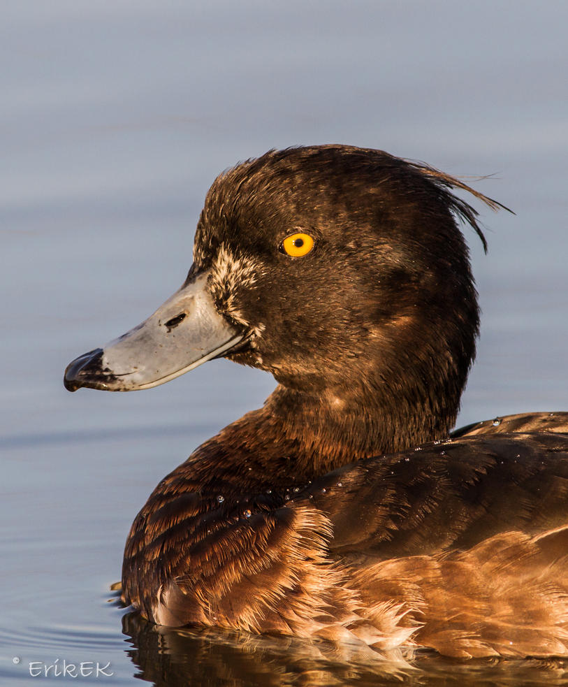 Tufted Duck (female) by ErikEK