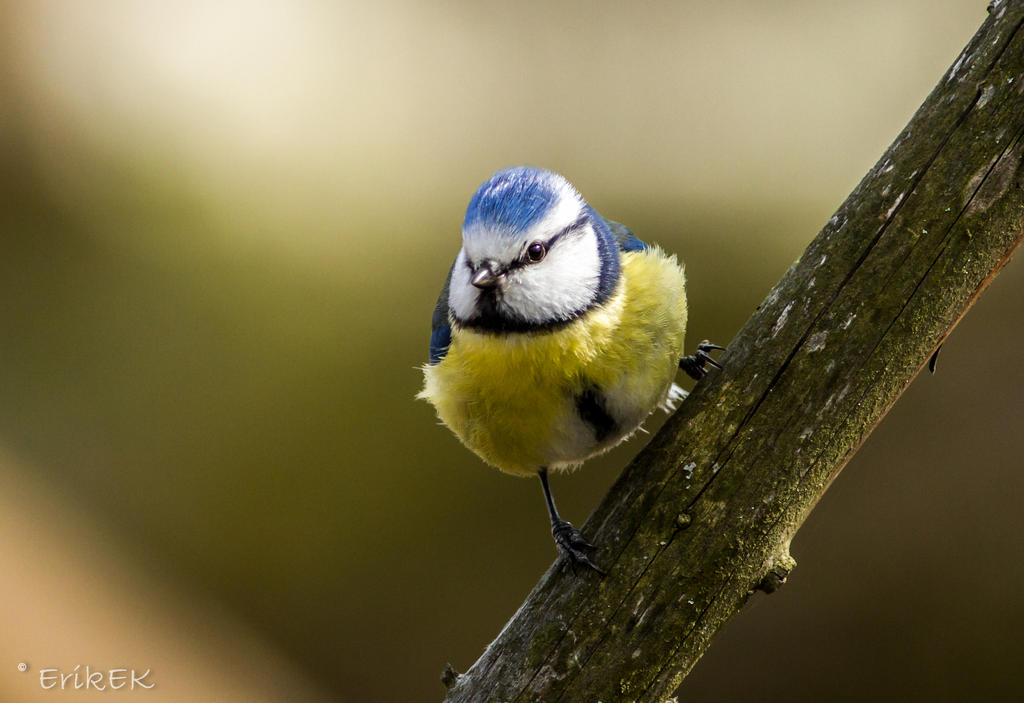The Eurasian Blue Tit by ErikEK