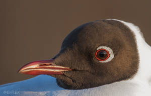 Black-headed gull  portrait by ErikEK