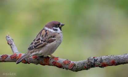 Eurasian tree sparrow by ErikEK