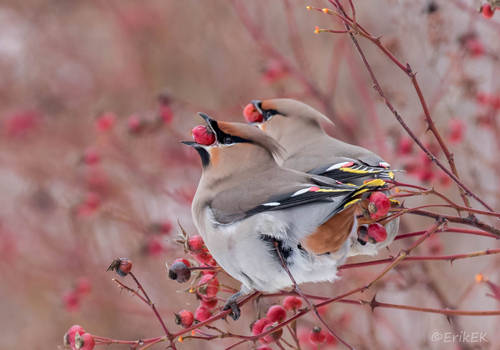 Synchronous eating, Waxwings