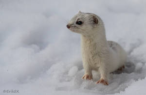 Least weasel by ErikEK