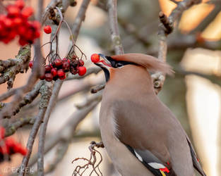 Waxwing and  gourmet food by ErikEK