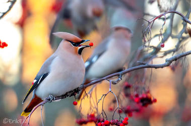 Waxwing by ErikEK