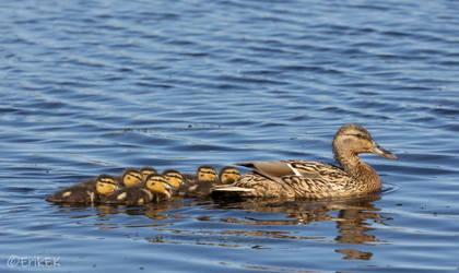 mallard family by ErikEK