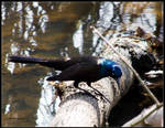 Common Grackle Hunting