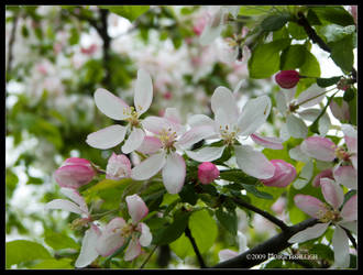 Apples in Spring by Mogrianne