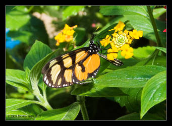Butterfly Sipping Nectar by Mogrianne