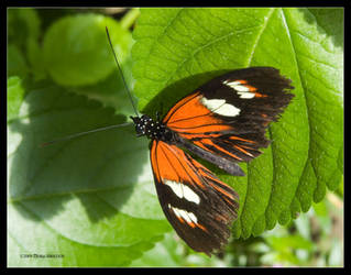 Butterfly - Doris with Shadow by Mogrianne